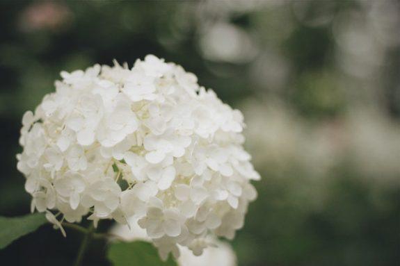 あの白い紫陽花の正体は!?