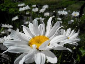 daisy-1101162_640