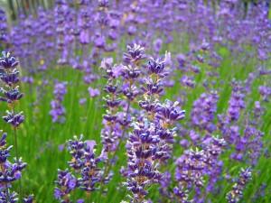 lavender-955949_640