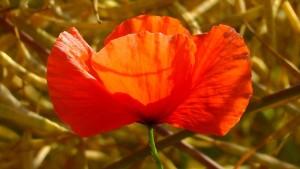 poppy-163304_640