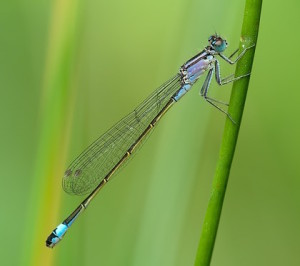 slender-dragonfly-238468_640