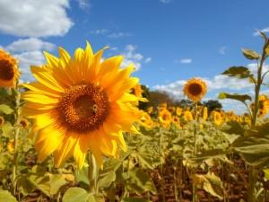 sunflower-475767_960_720